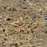 Two Snow Buntings and Killdeer