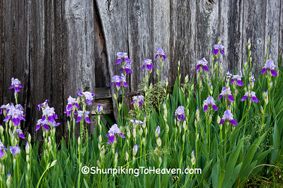 Purple Irises Against Weathered Wood, Fleming County, Kentucky