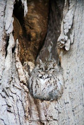 Eastern Screech Owl Camouflaged in an Oak Tree, Winnebago County, Wisconsin