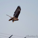 Dark-morph Red-tailed Hawk in Bridgeton