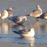 Iceland Gull and Ring-billed Gulls