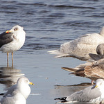 Lesser Black-backed Gull and Glaucous Gull