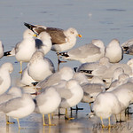 Lesser Black-backed Gull and Ring-billed Gulls