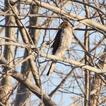 Cooper's Hawk (or Sharp-shinned?)