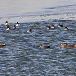 Gadwall and Common Goldeneye