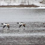 Common Mergansers - Hideaway Harbor Park