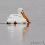 American White Pelican - Hideaway Harbor Park