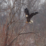 Bald Eagle - Hideaway Harbor Park