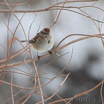 American Tree Sparrow - Hideaway Harbor Park