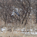 Northern Harrier - Columbia Bottom Conservation Area