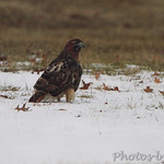 Red-tailed Hawk - Larimore and Columbia Bottom Road