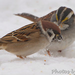 Eurasian Tree Sparrow and White-throated Sparrow