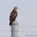 Red-tailed Hawk - Airport fence - Natural Bridge Road just west of Fee Fee