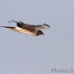 Northern Harrier - Riverlands Migratory Bird Sanctuary