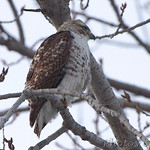 Red-tailed Hawk - Columbia Bottom Conservation Area