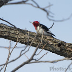 Red-headed Woodpecker - Hide-a-Way Harbor