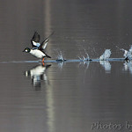 Common Goldeneye - Hide-a-Way Harbor