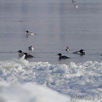 Common Mergansers - Hide-a-Way Harbor