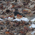 Eastern Towhee - Columbia Bottom Conservation Area