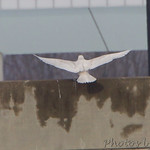 Glaucous Gull - Riverlands Migratory Bird Sanctuary
