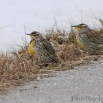 Western Meadowlarks Dwiggins Road St. Charles County
