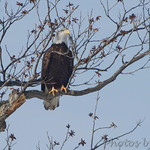 Bald Eagle - Hide-a-Way Harbor