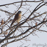 American Kestrel - Sioux Road