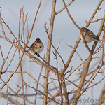 American Tree Sparrows