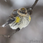 Yellow-rumped Warbler 'I don't like this weather any more then you do'