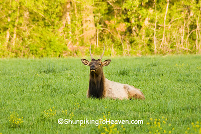 Elk at Ponca Wilderness Area, Newton County Arkansas