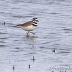 Killdeer - Confluence State Park Road