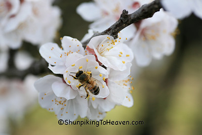Honey Bee on Pear Blossoms, Erath County, Texas