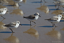 sanderlings walking