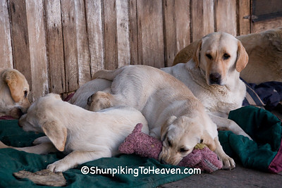 Yellow Lab Shenanigans, Penn's Store, Casey County, Kentucky (at the Boyle County Line)