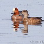 Eurasian Wigeon (male) and American Wigeon (female)