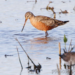 Dowitcher sp.