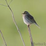 Savannah Sparrow Wah'Kon-Tah Prairie