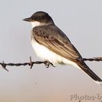 Eastern Kingbird Wah'Kon-Tah Prairie