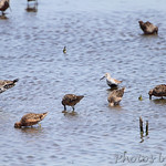 Dunlin, Dowitcher sp. and Hudsonian Godwit