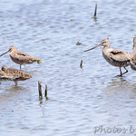 Hudsonian Godwit and Dowitcher sp.