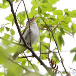 Red-eyed Vireo - Burr Oak CA