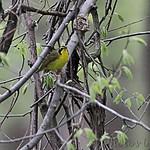 Kentucky Warbler - Burr Oak CA