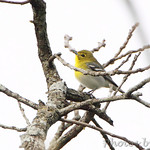 Yellow-throated Vireo - Burr Oak CA