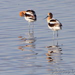 American Avocet - Squaw Creek NWR