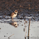 Semipalmated Plover - Squaw Creek NWR