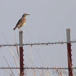 Meadowlark sp. Wah'Kon-Tah Prairie