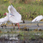 White Ibis and Little Blue Heron