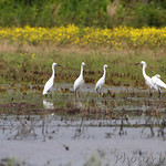 Snow Egrets and White Ibis