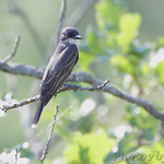 Eastern Kingbird - Wildcat Glades Conservation & Audubon Center