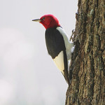 Red-headed Woodpecker - Wildcat Glades Conservation & Audubon Center